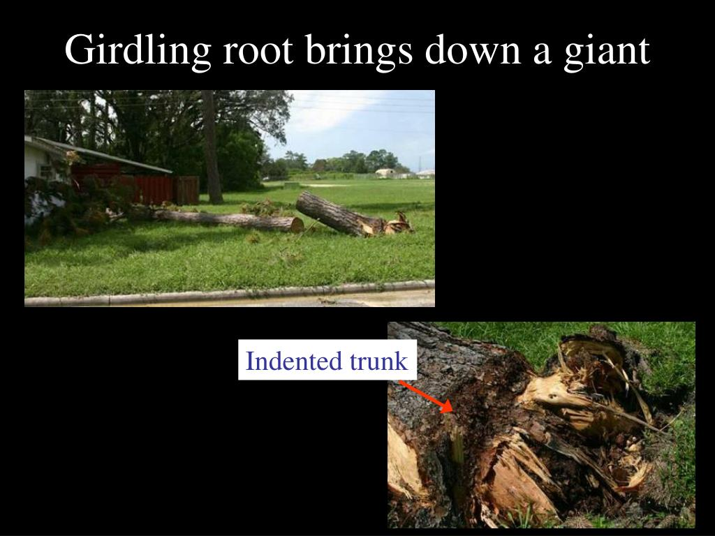 Girdling root brings down a giant