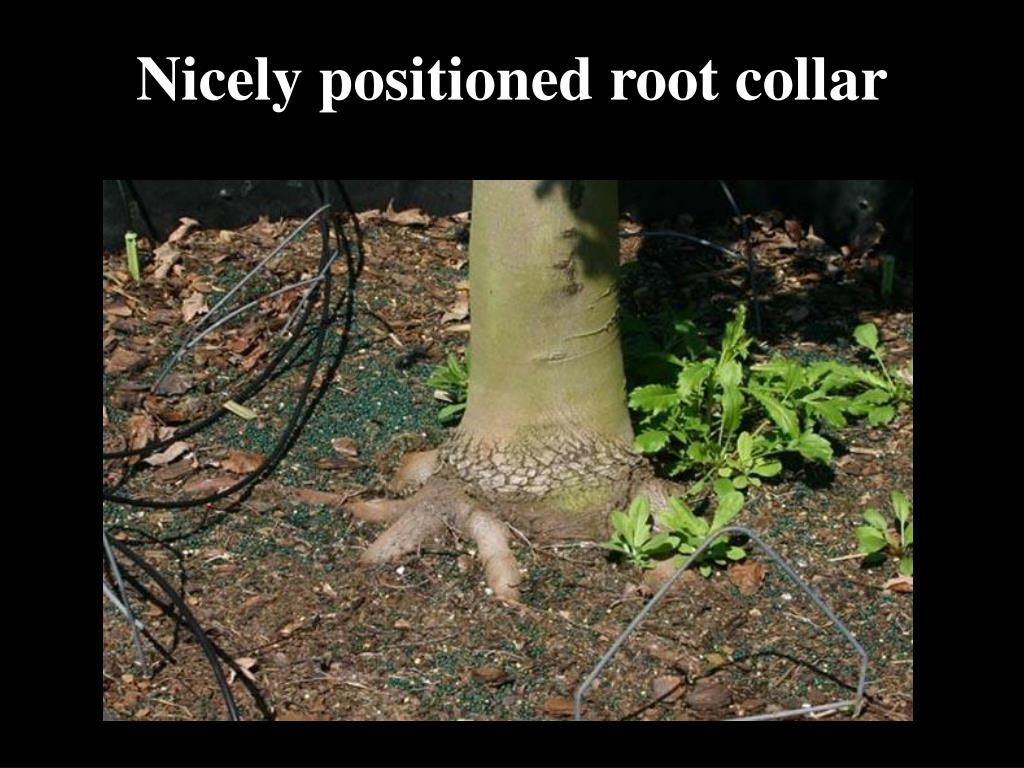 Nicely positioned root collar
