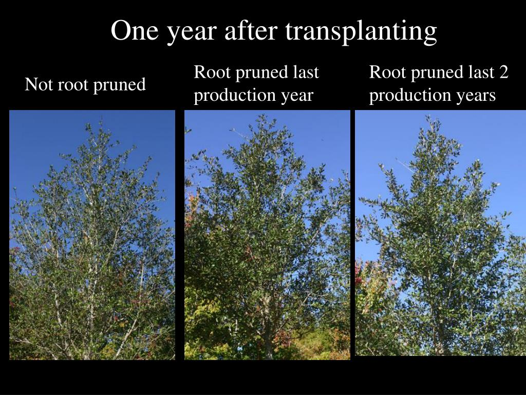 One year after transplanting