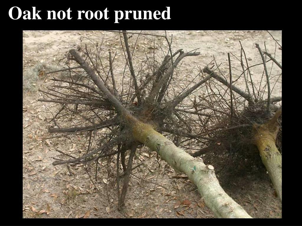 Oak not root pruned