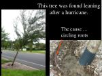 this tree was found leaning after a hurricane