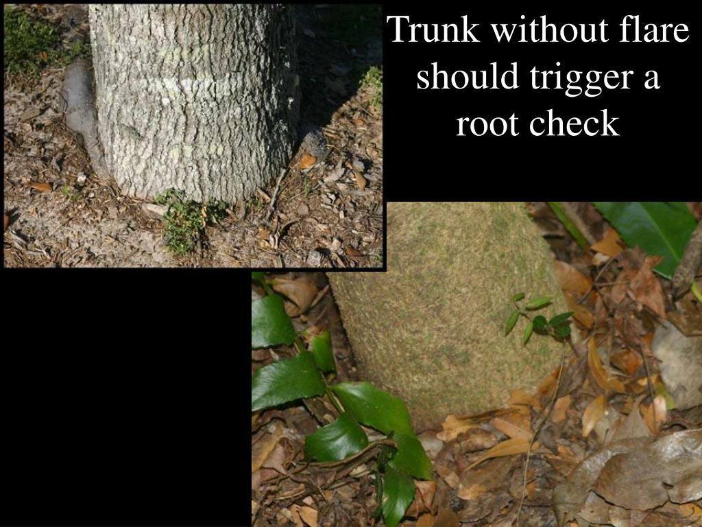 Trunk without flare should trigger a root check