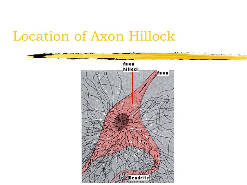 Location of Axon Hillock