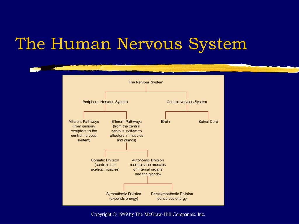 The Human Nervous System