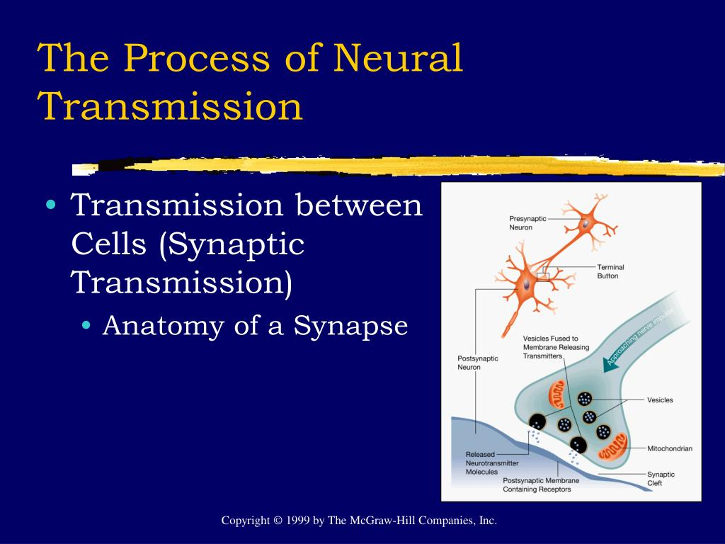 The Process of Neural Transmission
