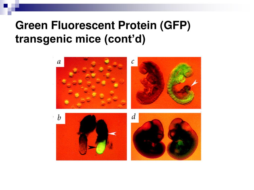 Green Fluorescent Protein (GFP) transgenic mice (cont'd)