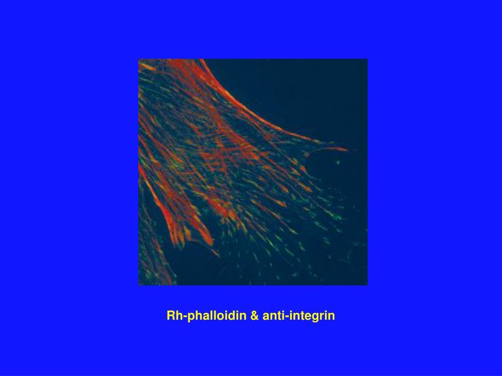 Rh-phalloidin & anti-integrin