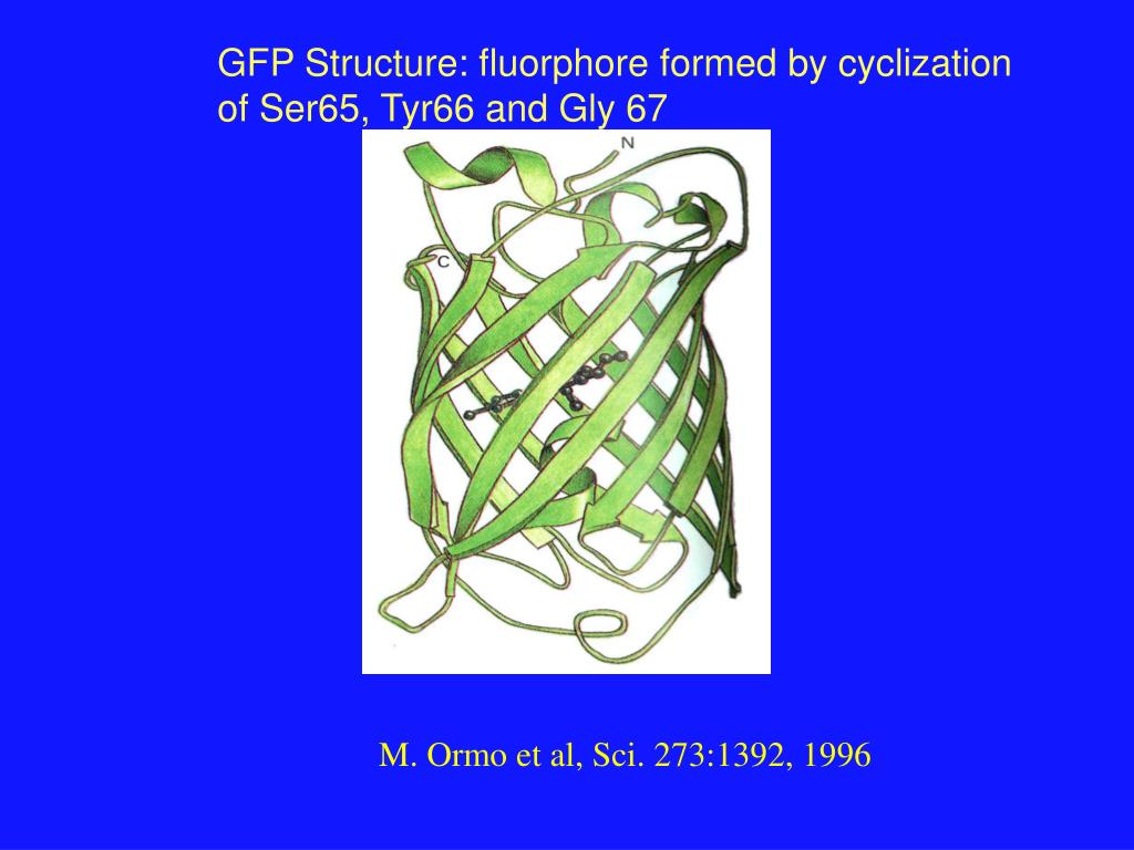 GFP Structure: fluorphore formed by cyclization