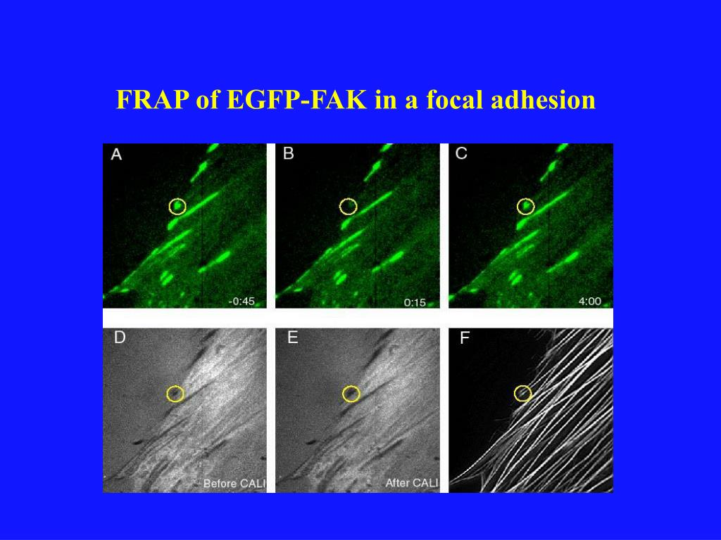 FRAP of EGFP-FAK in a focal adhesion