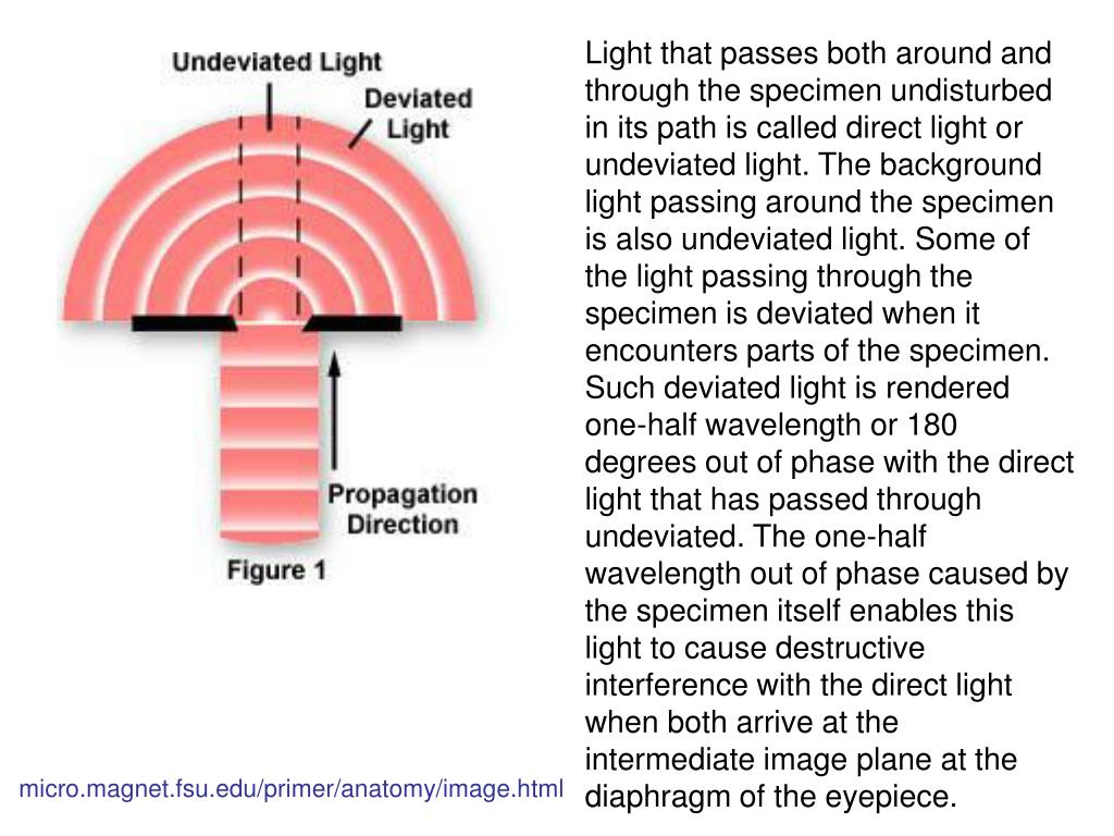 Light that passes both around and through the specimen undisturbed in its path is called direct light or undeviated light. The background light passing around the specimen is also undeviated light. Some of the light passing through the specimen is deviated when it encounters parts of the specimen. Such deviated light is rendered one-half wavelength or 180 degrees out of phase with the direct light that has passed through undeviated. The one-half wavelength out of phase caused by the specimen itself enables this light to cause destructive interference with the direct light when both arrive at the intermediate image plane at the diaphragm of the eyepiece.