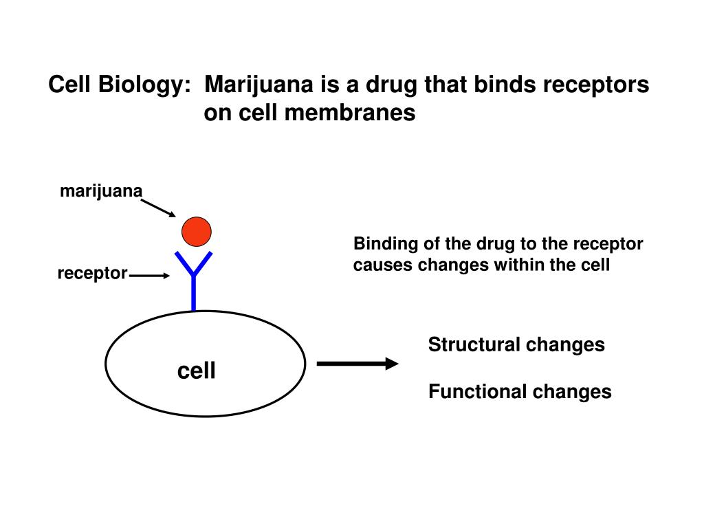Cell Biology:  Marijuana is a drug that binds receptors