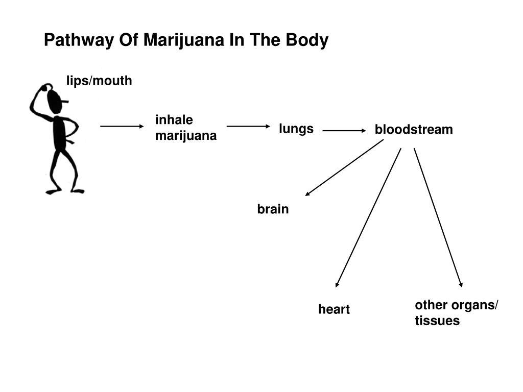 Pathway Of Marijuana In The Body