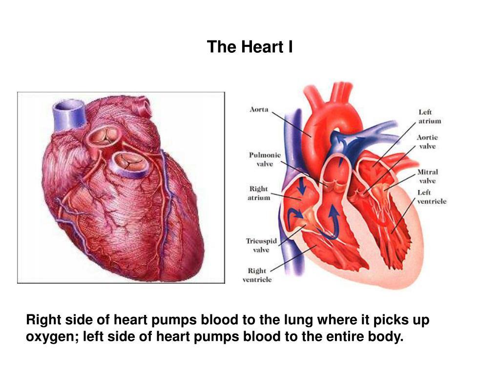 The Heart I