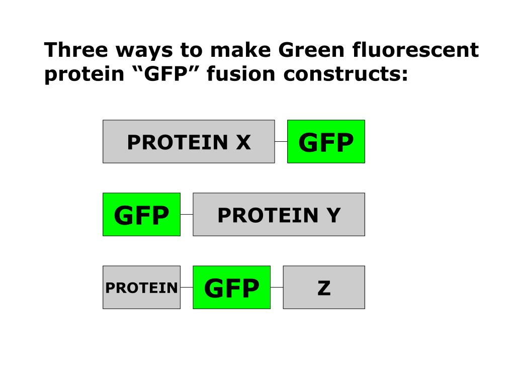 "Three ways to make Green fluorescent protein ""GFP"" fusion constructs:"