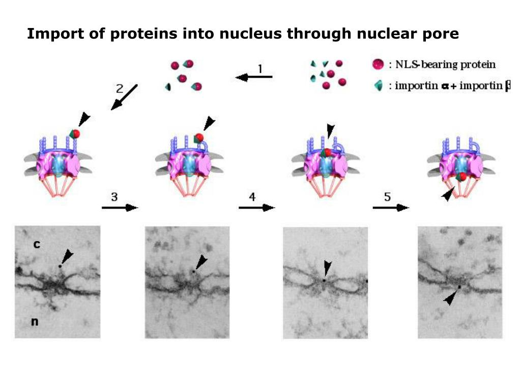 Import of proteins into nucleus through nuclear pore