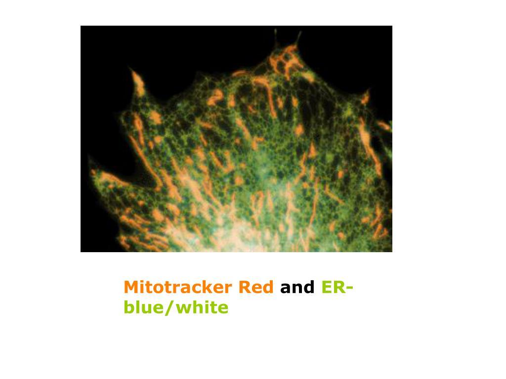 Mitotracker Red