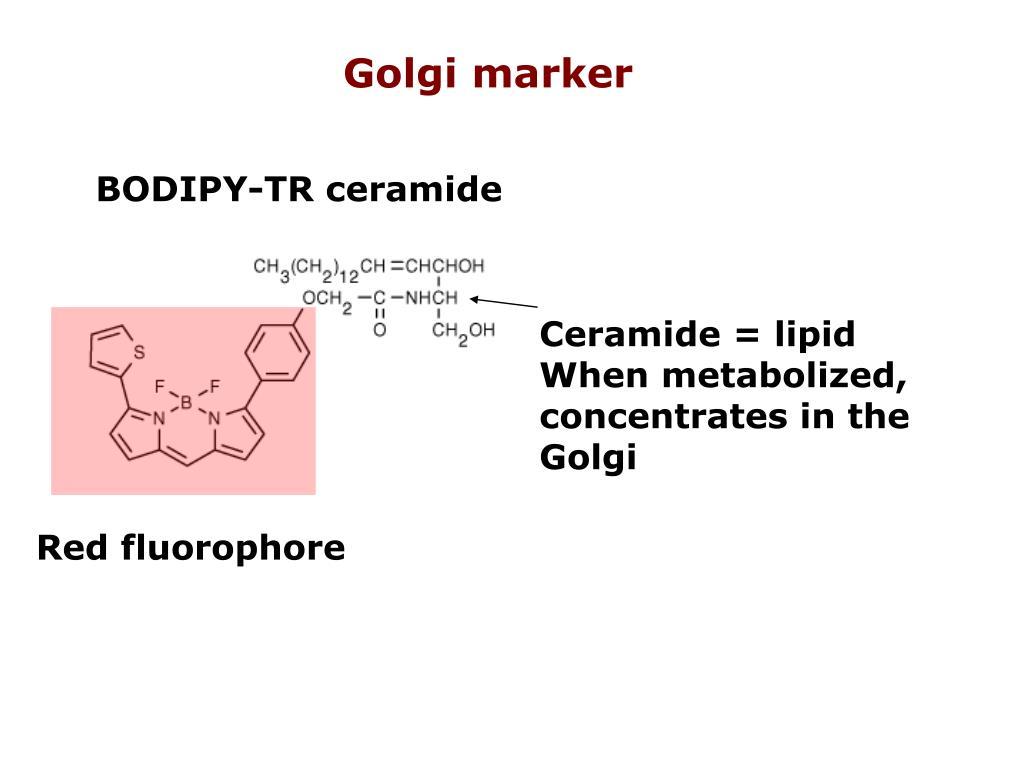 Golgi marker