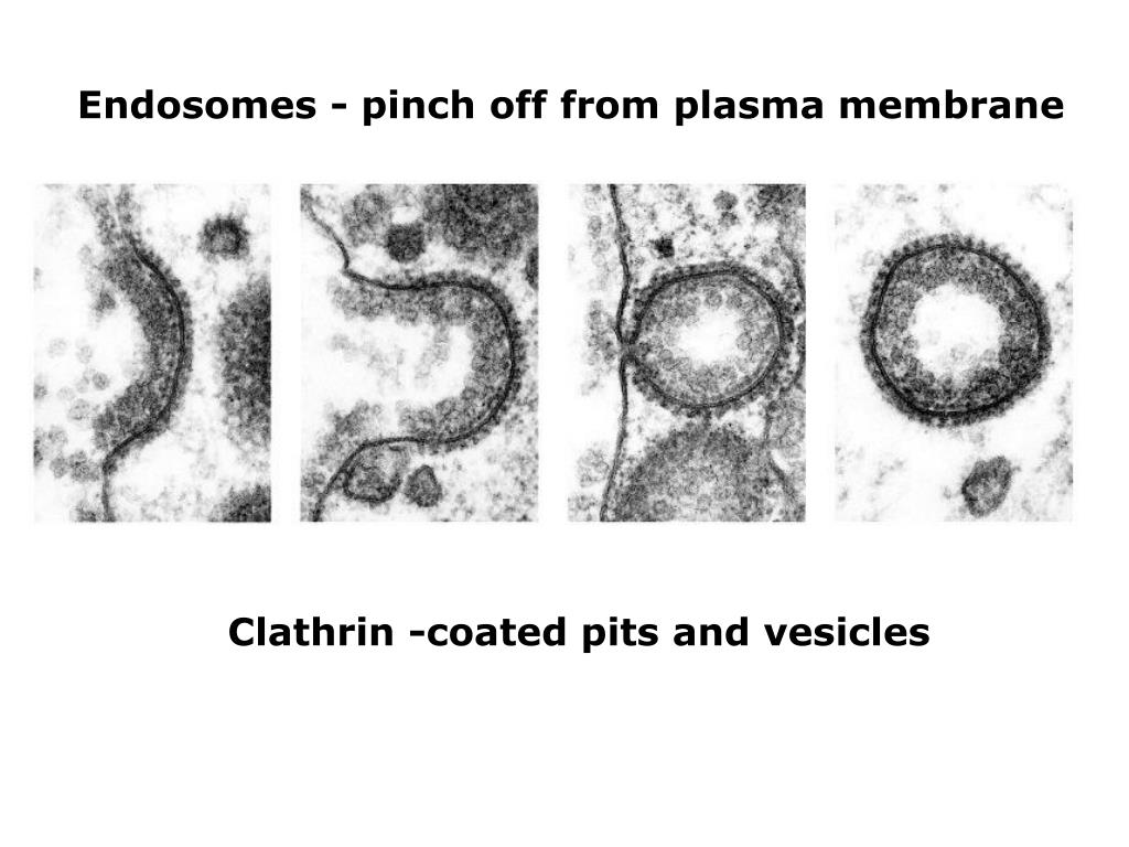 Endosomes - pinch off from plasma membrane