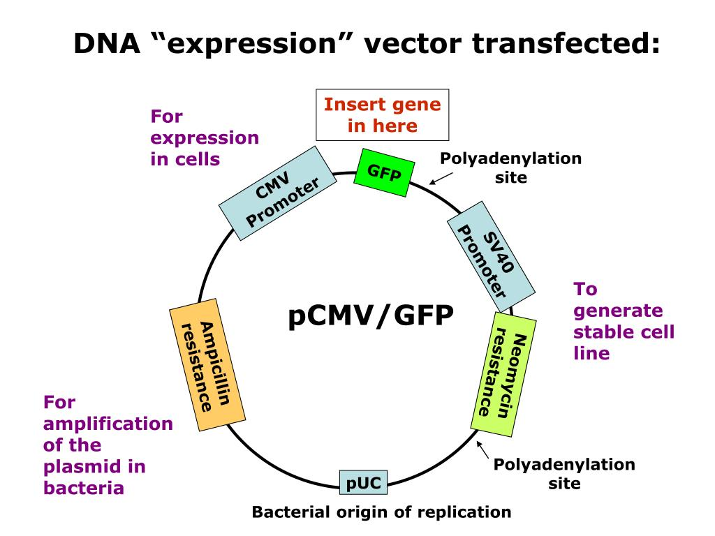 "DNA ""expression"" vector transfected:"