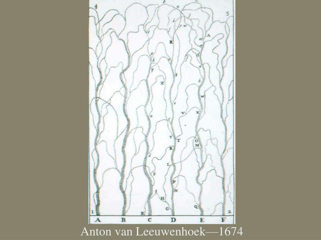 Anton van Leeuwenhoek—1674