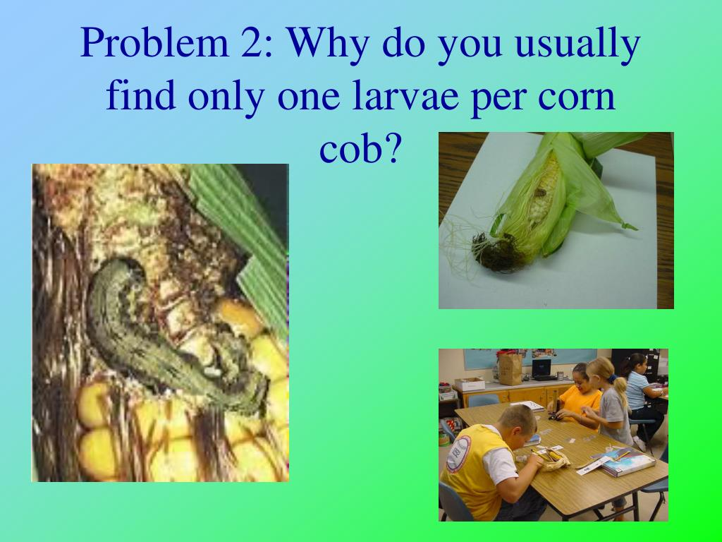 Problem 2: Why do you usually find only one larvae per corn cob?