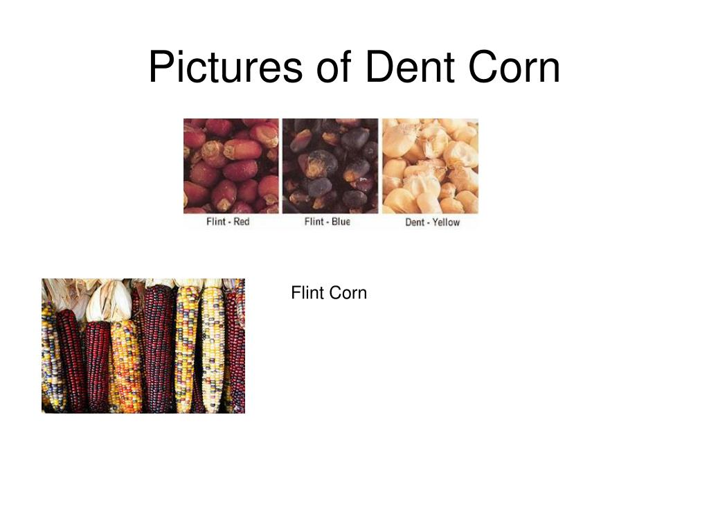 Pictures of Dent Corn