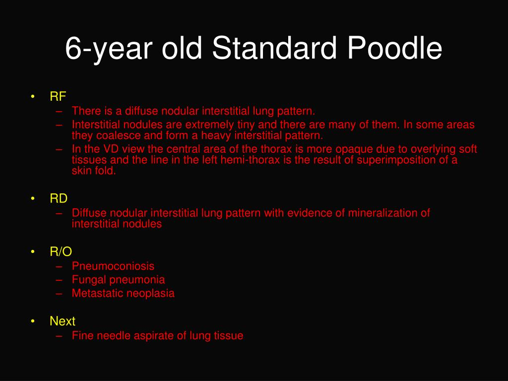6-year old Standard Poodle