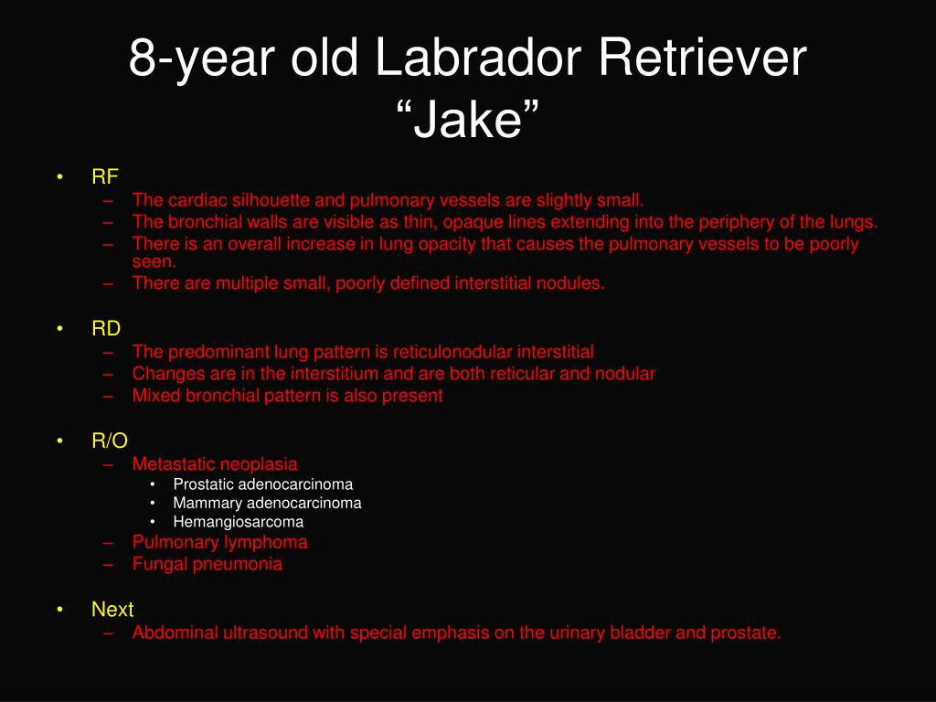 8-year old Labrador Retriever