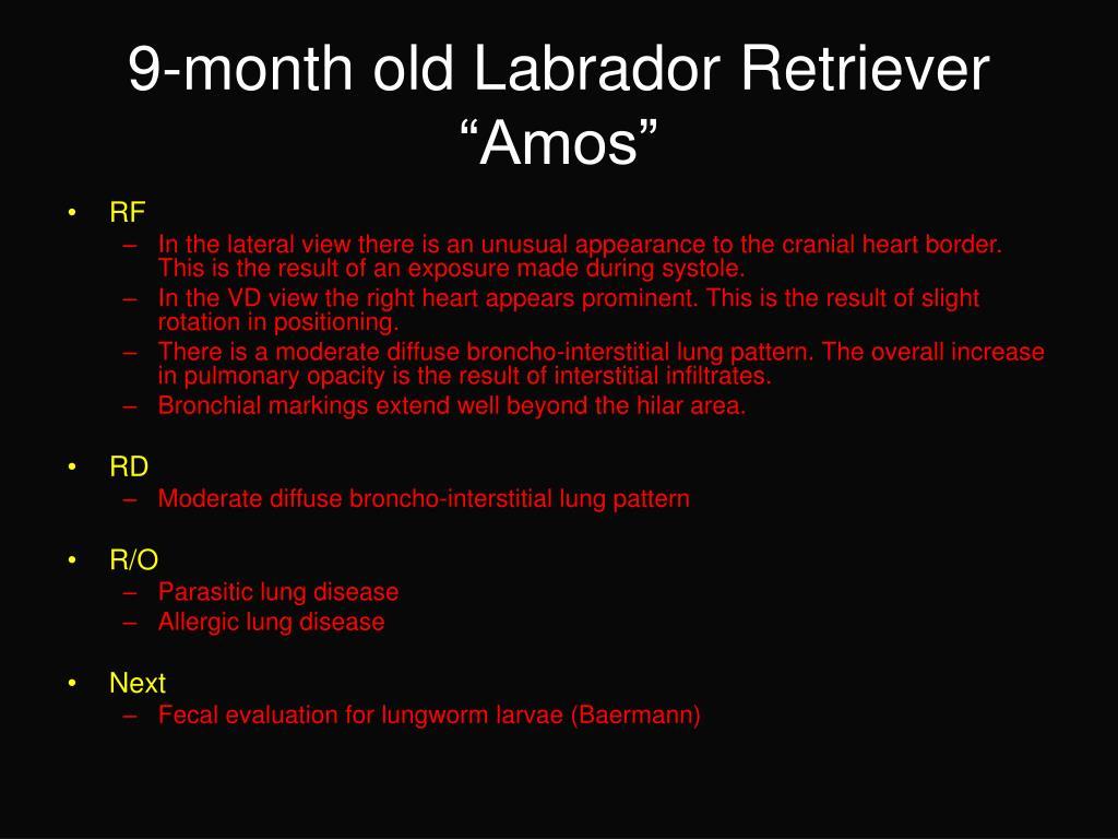 """9-month old Labrador Retriever """"Amos"""""""