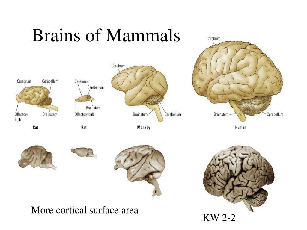 Brains of Mammals