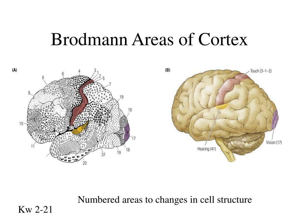 Brodmann Areas of Cortex