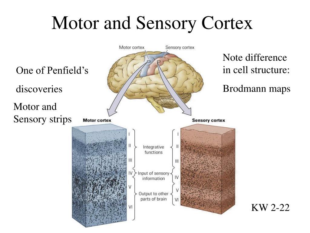 Motor and Sensory Cortex