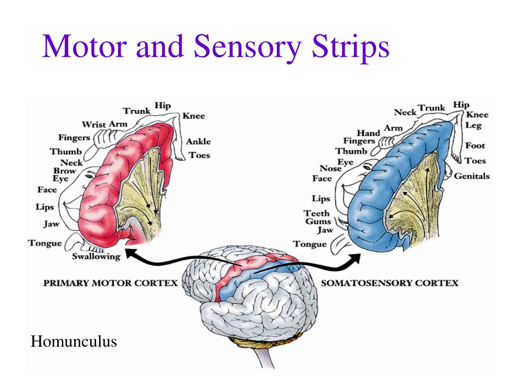 Motor and Sensory Strips