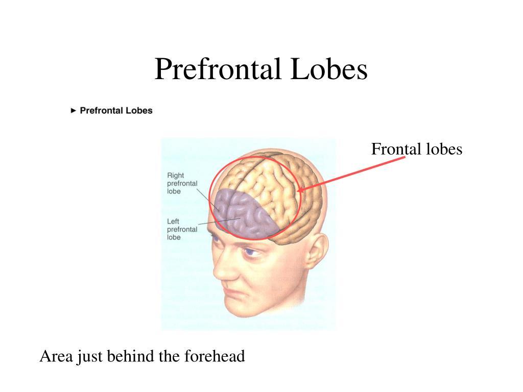 Prefrontal Lobes