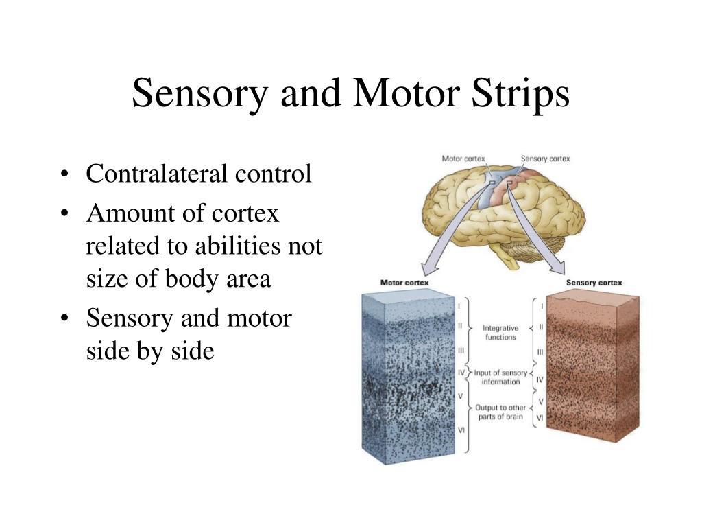 Sensory and Motor Strips