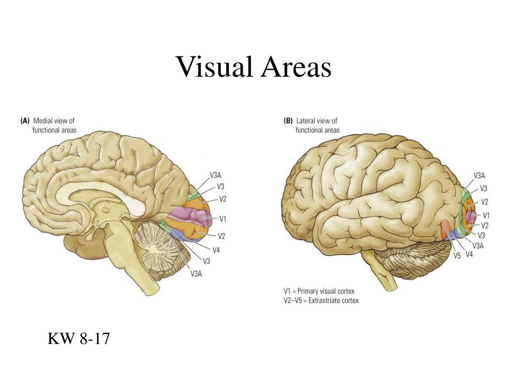 Visual Areas