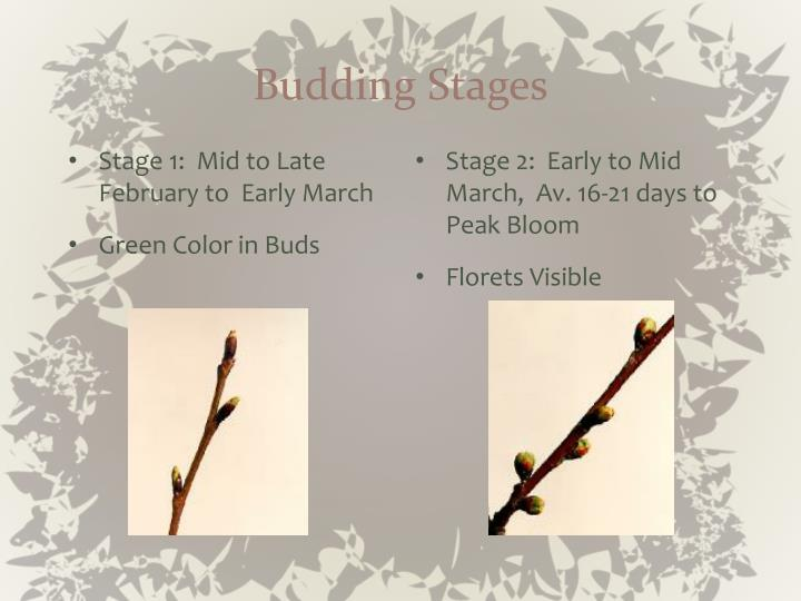 Budding stages l.jpg