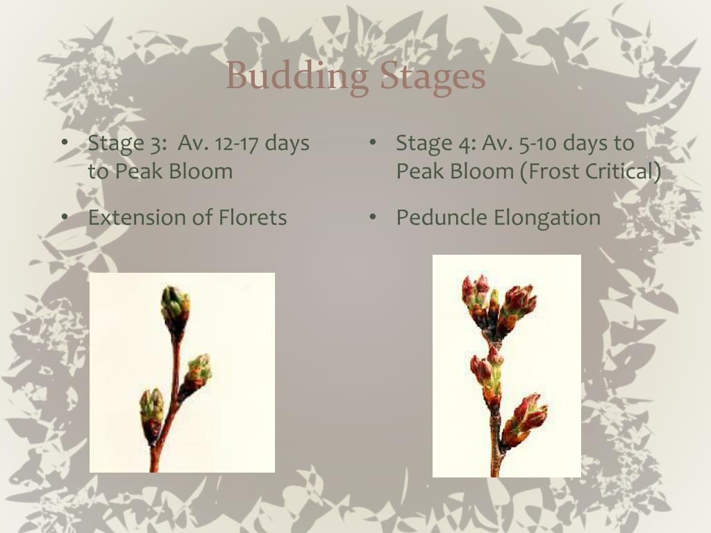 Budding Stages