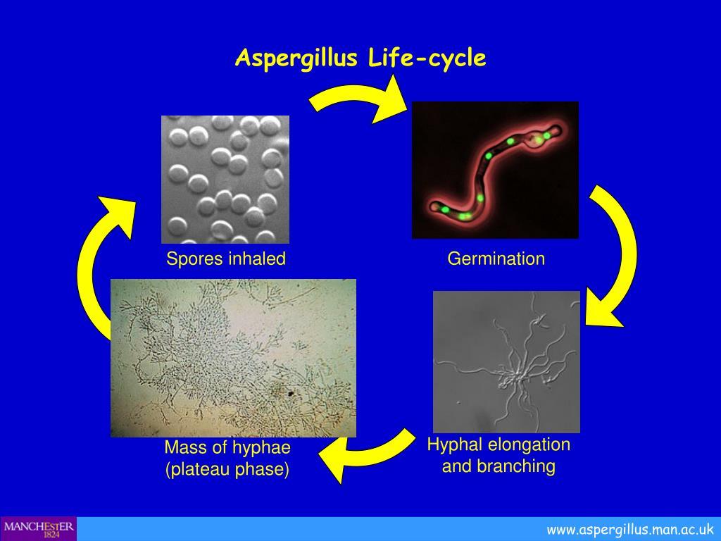 Aspergillus Life-cycle