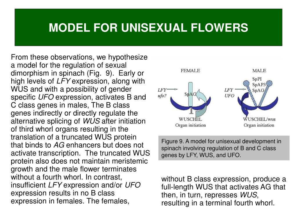MODEL FOR UNISEXUAL FLOWERS