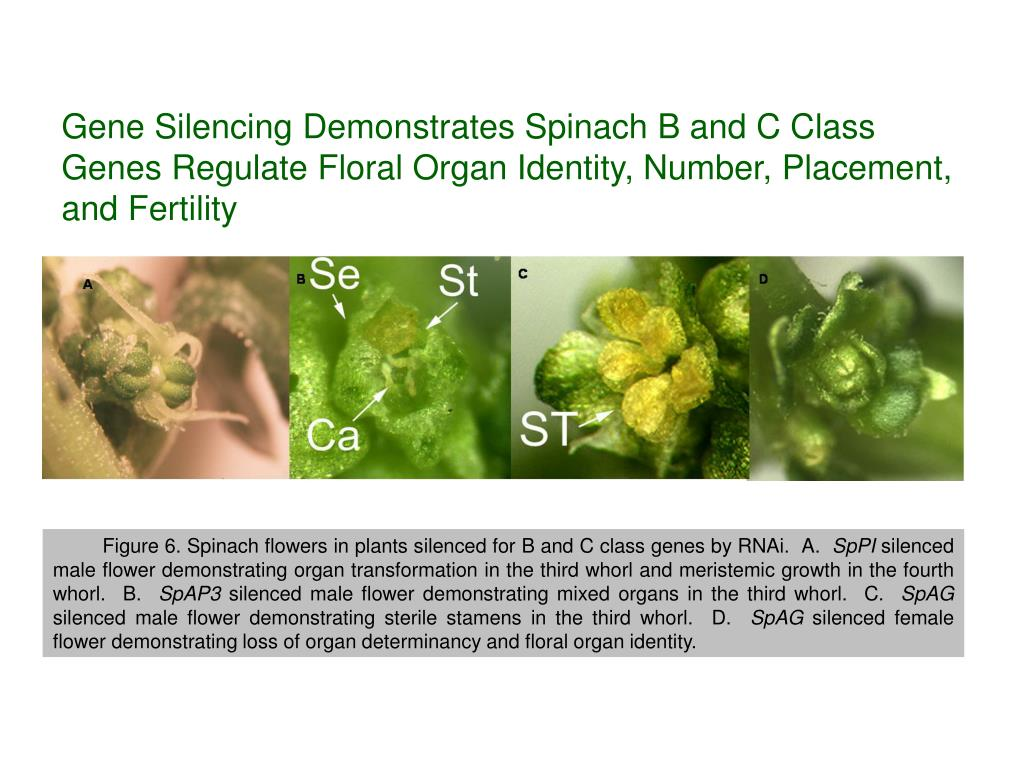 Gene Silencing Demonstrates Spinach B and C Class Genes Regulate Floral Organ Identity, Number, Placement, and Fertility