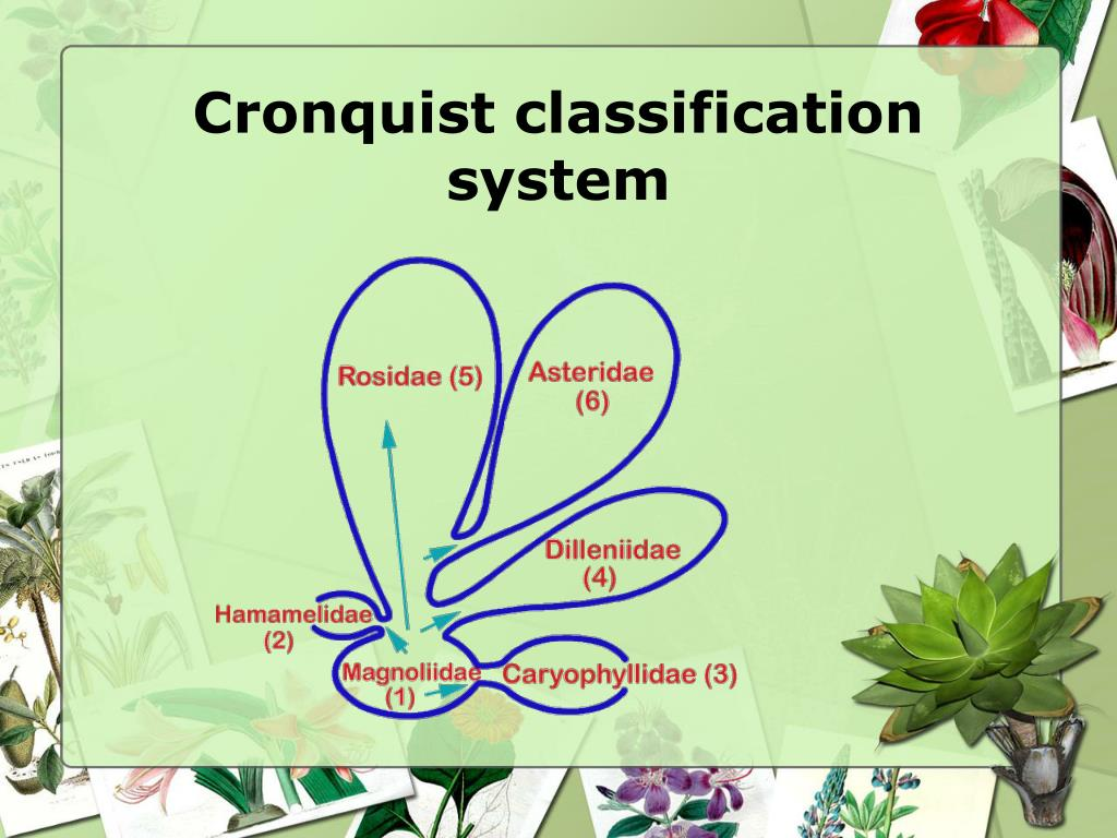 Cronquist classification system