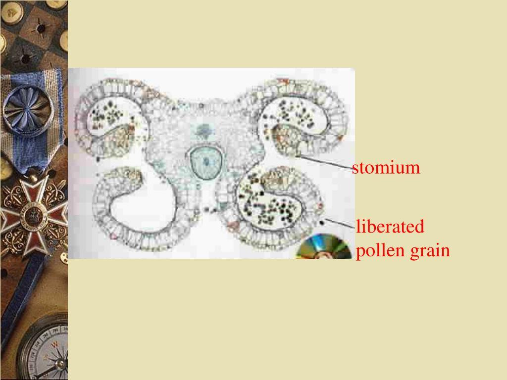 stomium