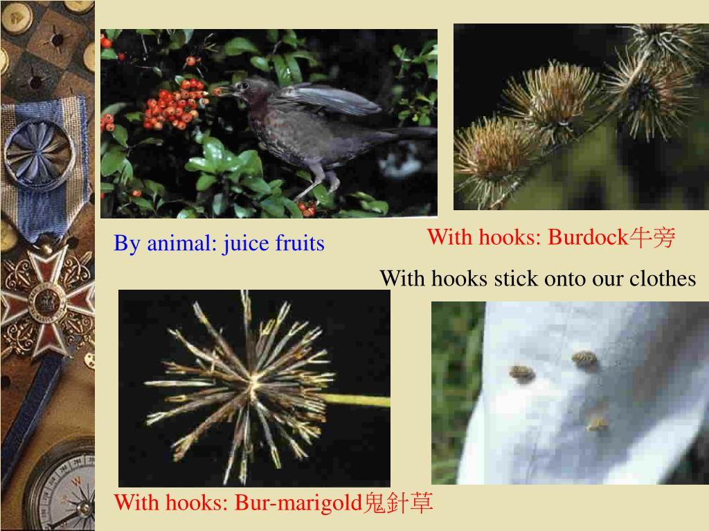 With hooks: Burdock