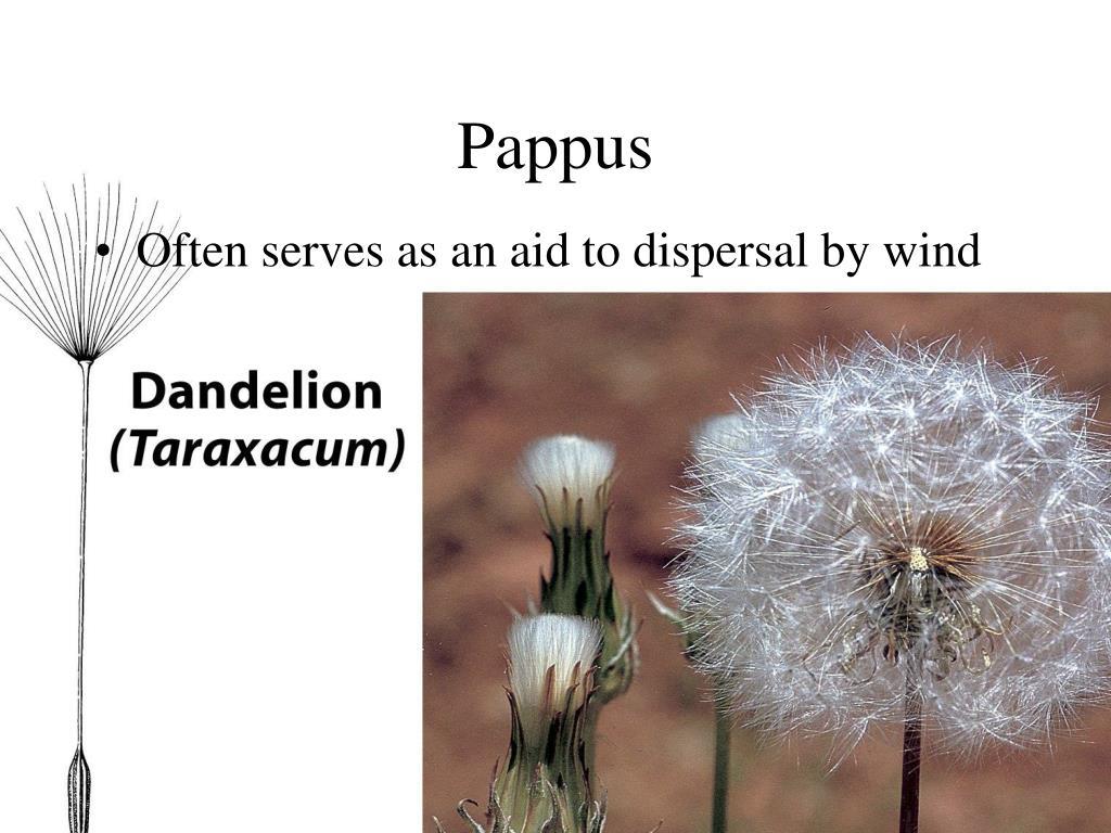 Pappus