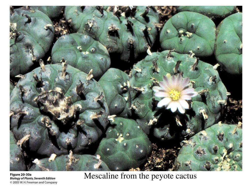 Mescaline from the peyote cactus