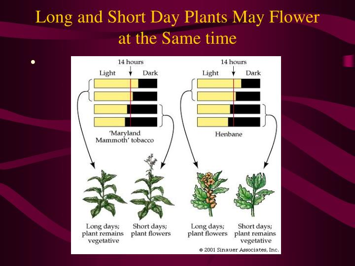 Long and Short Day Plants May Flower at the Same time