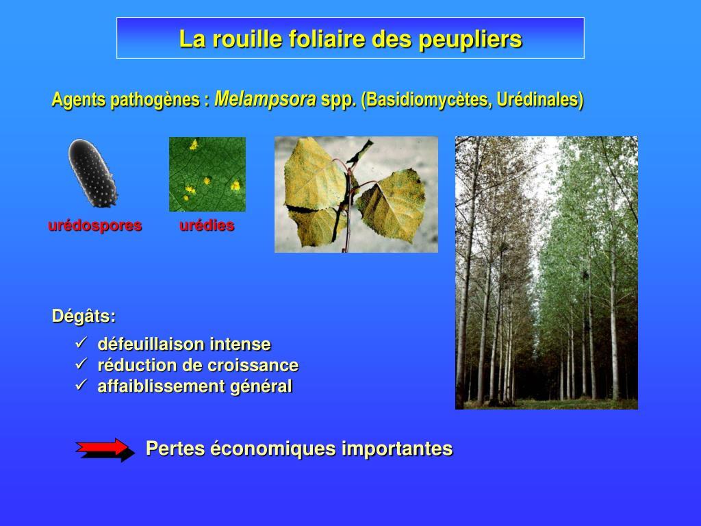 urédospores