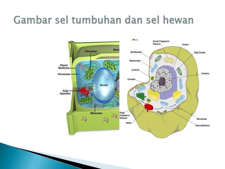 Gambar sel tumbuhan dan sel hewan