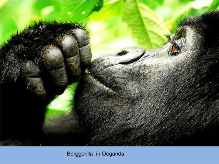 Berggorilla  in Oeganda